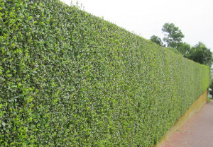 hedge-cutting-maintenance-wandsworth